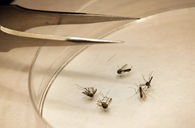 Mosquitoes are sorted at the Dallas County mosquito lab in Dallas, Texas. Maine's second case of West Nile virus this year has been detected in Gorham.