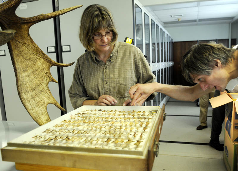 BUGGING OUT: Maine State Museum curator of zoology Paula Work and University of Maine professor Andrei Alyokhin inspect a case of insects included in the collection received Thursday by the Maine State Museum in Augusta from the University of Maine. The scientists worked with Maine Forest Service entomologist Charlene Donahue to move the collection.