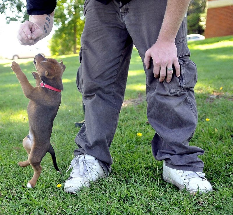 Bear, an eight-week-old mutt puppy, jumps for a treat in Joe Brown's hand Tuesday afternoon in front of the L.C. Bates Museum at Good Will-Hinckley.