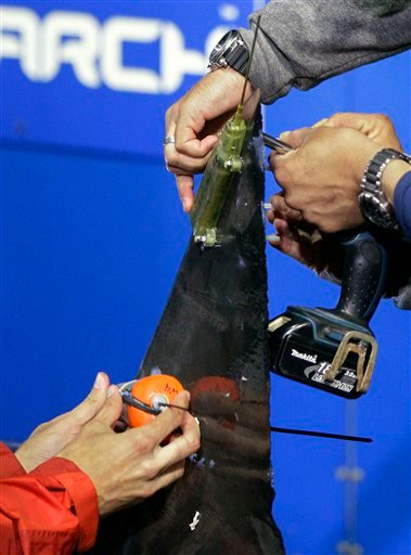 In this Sept. 13, 2012, photo, researchers screw satellite and acoustic tags onto the dorsal fin of a great white shark on the research vessel Ocearch in the Atlantic Ocean off the coast of Chatham, Mass.