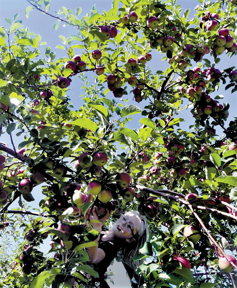 Though some states are expecting a smaller apple harvest than usual this season, the picking was good for Kay Lyn Belanger in a tree and hundreds of others at the Apple Farm in Fairfield on Sunday.