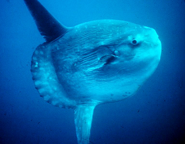 The ocean sunfish is the heaviest known bony fish in the world.