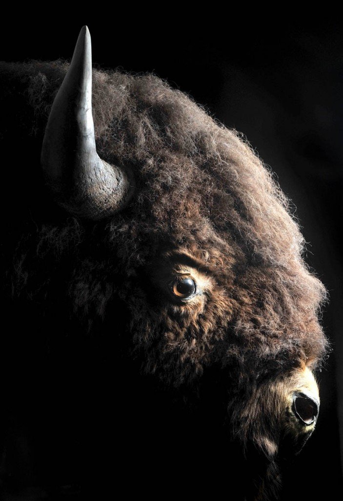 The head of an American bison, Barney, is mounted on the wall. According to a sign, a man from South Dakota fell deathly ill and was nursed back to health by the manager of a lumber company in Solon. After returning home, he sent the live bison back via train as a thank you present.