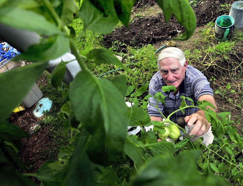 Staff photo by David Leaming Avid gardener Sam Shapiro reaches up a 13-foot tomato plant to pluck green tomatoes at his home in Waterville. Shapiro said he has never seen such a tall plant in his 50-years of gardening.
