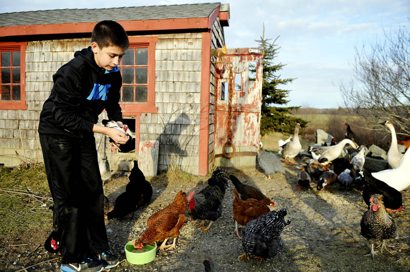 Cole Perry, 12, replaces a bantam rooster after feeding him along with the flock of chickens, ducks, geese and guinea fowl, that reside in his family's Hallowell coop. Perry and his sisters feed the menagerie every day after getting home from school.