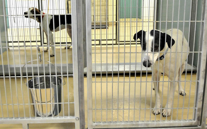 Dogs available for adoption sit in their cages at the Humane Society Waterville Area on Webb Road Tuesday. Shelter officials worry that a slow economy will bring in more pets and continue to strain its ability to feed its dogs.