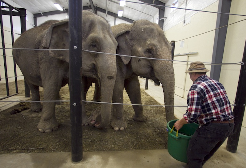 In this Tuesday, Nov. 13 photo, Opal and Rosie, retired circus elephants, look forward to drinking from a large bucket of water at Hope Elephants, a not-for-profit rehabilitation and educational facility in Hope, Maine. In Maine, a state known for moose and lobsters, the two Asian elephants have found themselves a new home. (AP Photo/Robert F. Bukaty)