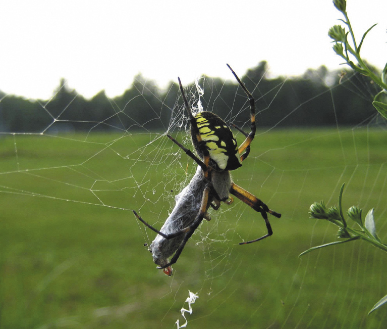 A black and yellow garden spider (Argiope aurantia) wraps its prey in the Unity park one late summer afternoon.