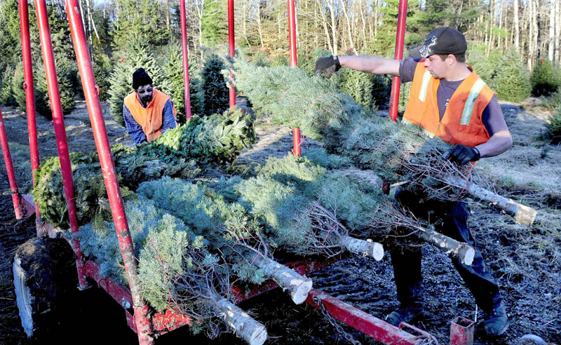 "Shane James, left, and Cody Wolf load bundled Christmas trees at The Forest tree farm on West Ridge Road in Cornville on Monday. Owner Bryant LePlante said he will be open through the holidays starting this Saturday. ""This has been a great year weatherwise for growing trees,"" LePlante said."