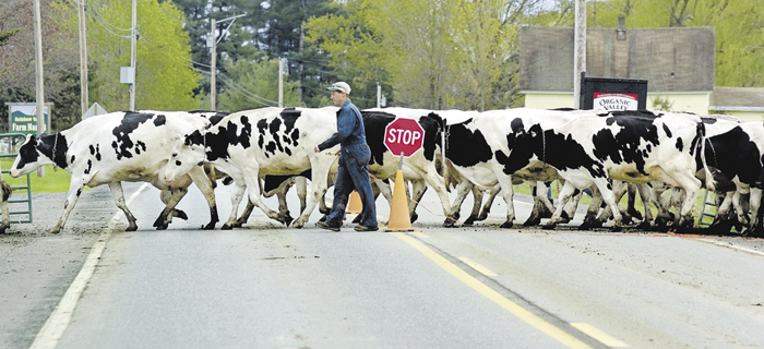 Jeff Bragg escorts his herd of dairy cows across the River Road in Sidney.