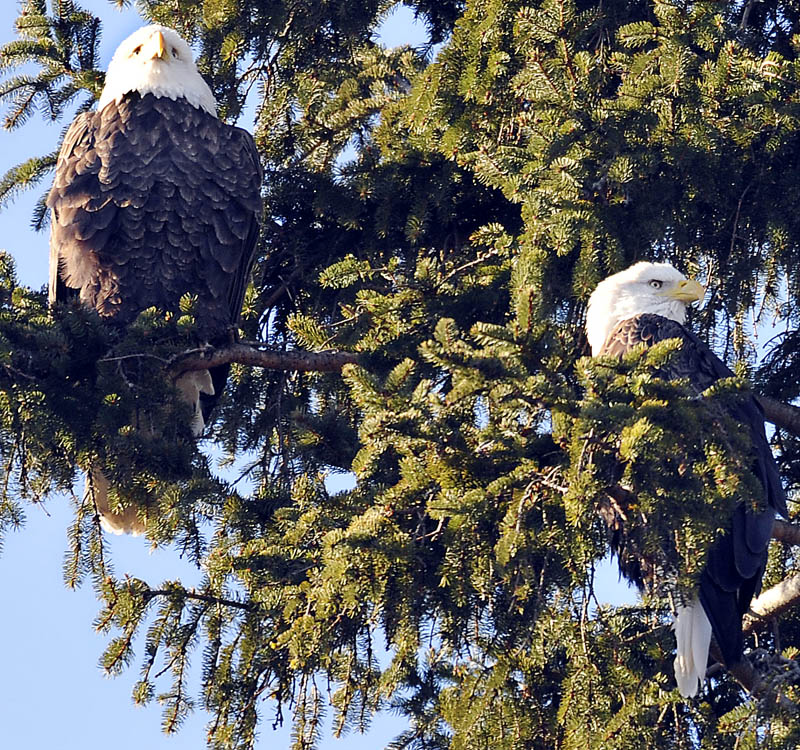 A pair of bald eagles survey the Kennebec River from a tree on Sunday, in Gardiner. The raptors were observing the river as the annual winter migration of smelt commences.