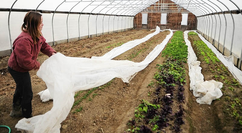 Kenya Whitehead puts a row cover over back over greens growing in a hoop house at Winterberry Farm, as night falls on Thursday in Belgrade. The double layer of protection can keep them alive over the winter.