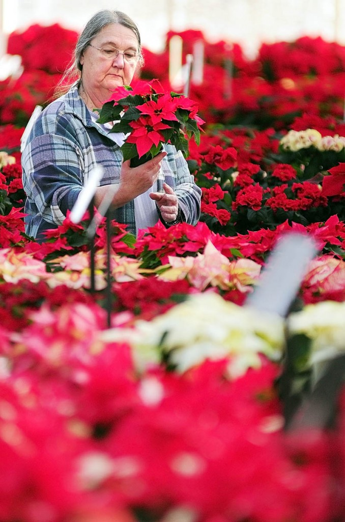 Carol Frey, of Salem Township, tries to decide on what type of poinsettia to buy on Monday afternoon at Longfellow's Greenhouses in Manchester. They have different 60 varieties of the plant and raised about 30,000 of them according, to employee Dave LeBlanc.