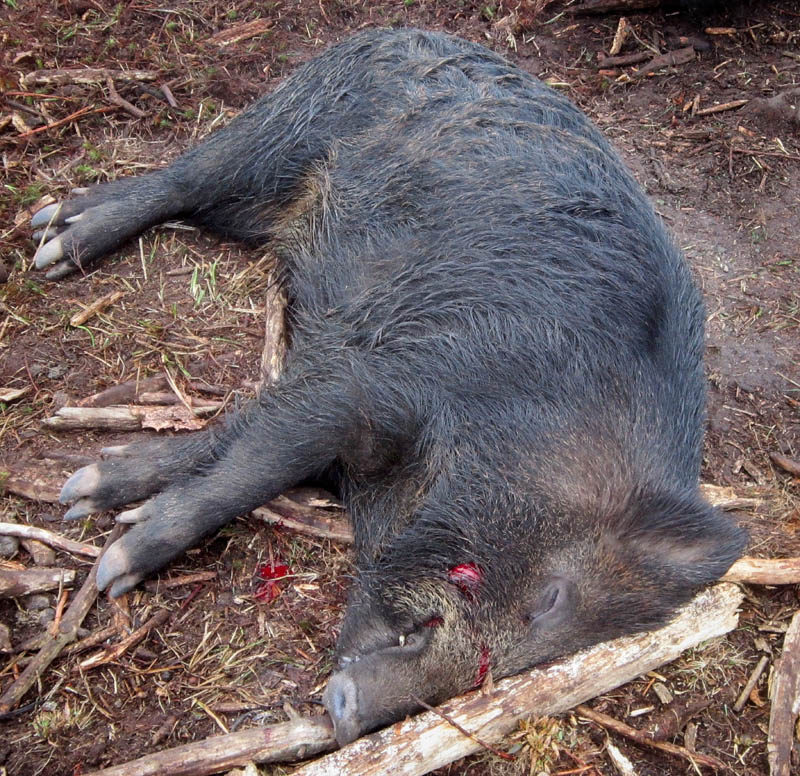 A Eurasian wild boar killed in Mercer recently is raising questions among state wildlife officials who want to know how it got to Maine.