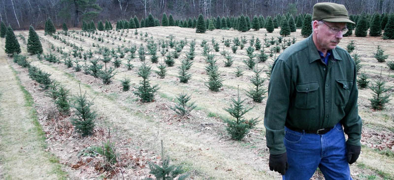 Dick Bradbury, owner of Bradbury's Christmas Trees in South China, walks through his crop of 2-year-old balsam firs earlier this month. Bradbury, who plants between 500 and 1,000 trees every year, will tend to these young trees for eight more years -- pruning, fertilizing, weeding -- before they're ready for sale during a four-week window between Thanksgiving and Dec. 24. The work is time-intensive, he said.