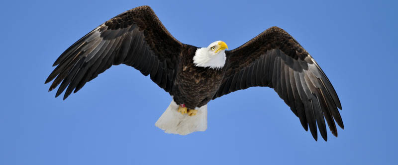 A bald eagle flies above Pleasant Pond in Richmond Tuesday as temperatures hovered around 10 degrees. With a wingspread of 6-8 feet, bald eagles often search for discarded fish on the ice.