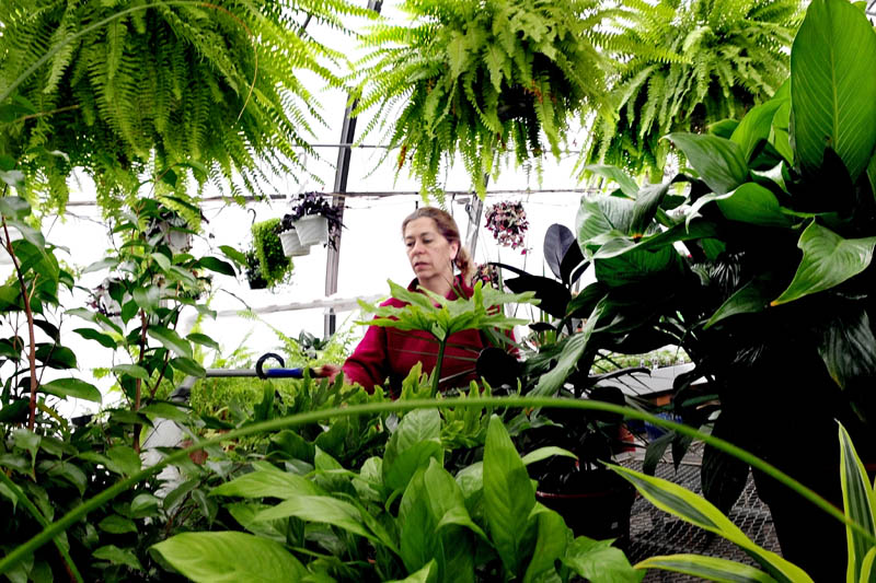 "As snow falls outside, Cindy Coady-Bergeron waters plants inside Boynton's Greenhouse in Skowhegan on Wednesday. ""Sometimes people come in here depressed due to the short daylight and they feel better when they leave,"" Coady-Bergeron said."
