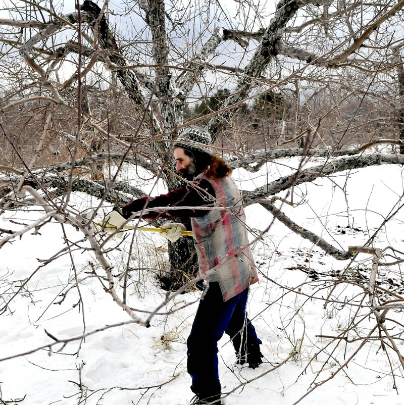 Arborist Philip Shadan, of Dancing Pines Nursery in Skowhegan, trims unwanted branches from apple trees at The Apple Farm in Fairfield on Wednesday. Shadan said winter is the time for pruning branches that inhibit light from reaching more fruit-bearing limbs.