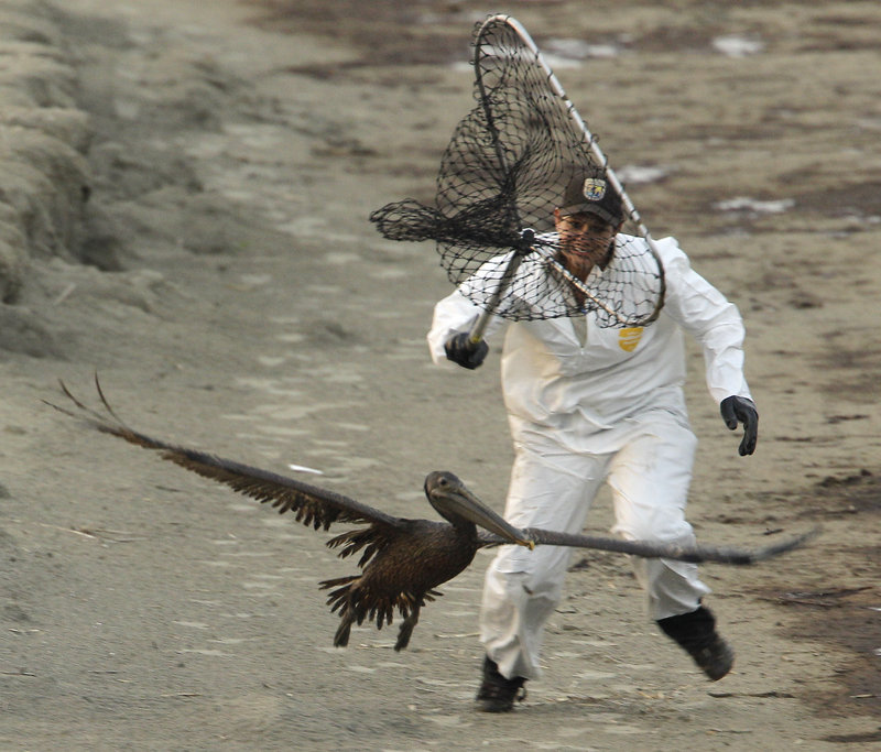 U.S. Fish and Wildlife biologist Kayla Dibenedetto attempts to catch a brown pelican covered with oil spilled as a result of the rig explosion, at Grand Isle, La., on June 5, 2010.