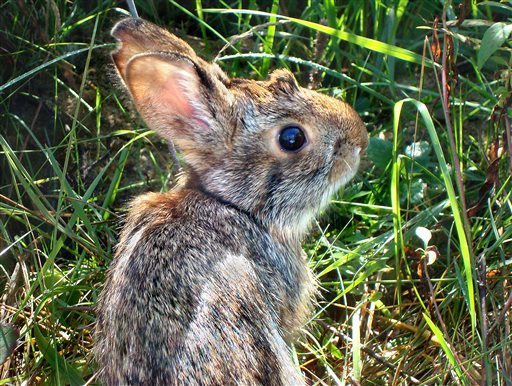 This undated photo, provided by New Hampshire Fish and Game Department, shows a New England cottontail rabbit. Wildlife officials say the New England cottontail could soon face extinction, because of diminishing shrubland across the Northeast.