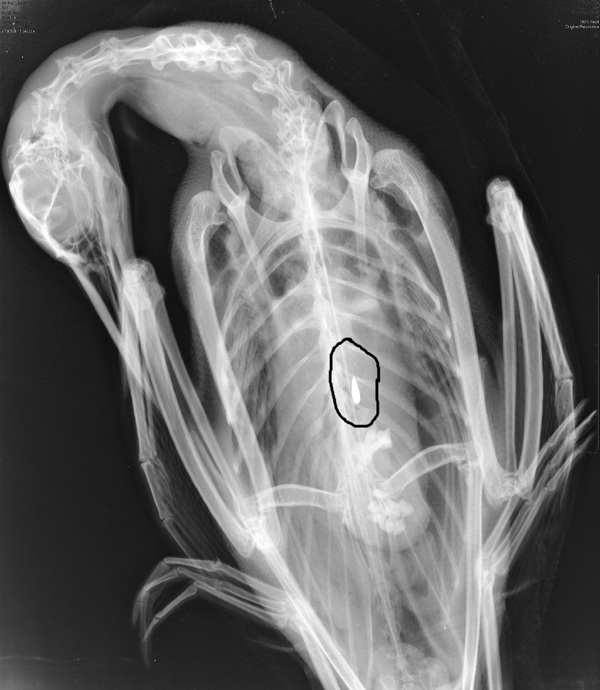 An X-ray photo shows a loon that ingested a small lead sinker. A proposed bill, L.D. 730, would ban the use and sale of small lead sinkers.