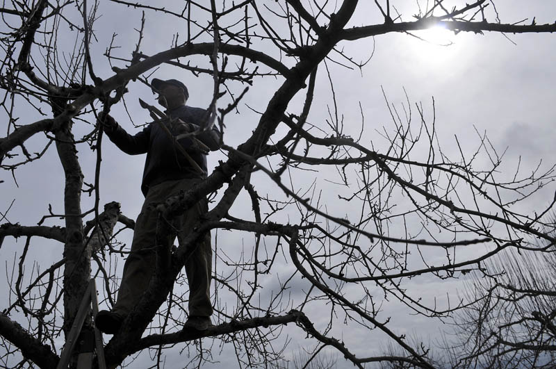 """Austin Moore prunes an apple tree Wednesday his family's Whitefield orchard. """"We're looking for a bumper crop this year,"""" Moore predicted."""