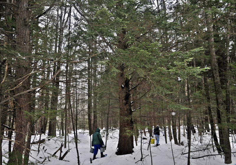 Pat, left, and Jon Bailey carry buckets of clippings and ashes Wednesday through the 11-acre woodlot behind their home in Litchfield. The retired couple have a dozen loop trails through their woods, which they explored on snowshoes while searching for a place to deposit the refuse.