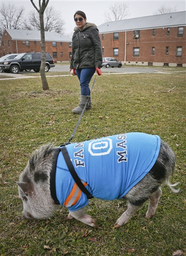 Danielle Forgione walks Petey, the family's pet pig, on Thursday in the Queens borough of New York. Forgione is scrambling to sell her second-floor apartment after a neighbor complained about 1-year-old Petey to the co-op board. In November and December she was issued city animal violations and in January was told by both the city and her management office that she needed to get rid of the pig.