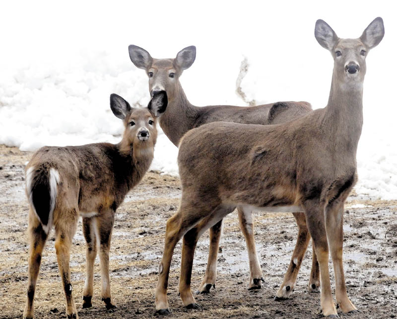 This group of deer showed up recently at Basil Powers' farm to wait for corn and grain to be spread out.