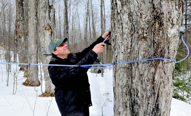 Jeremy Steeves reinserts a maple sap spile into a tree in the woods at Strawberry Hill Farm in Skowhegan. Steeves said he has 250,000 feet of sap lines transporting sap to the nearby sugar camp, where an evaporator boils the sap into syrup.