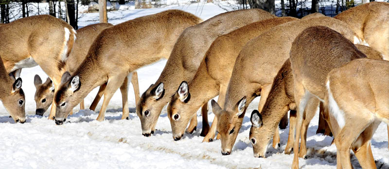 Deer line up to eat the corn that Basil Powers sets out at his home in Coplin Plantation.