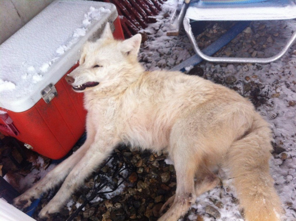 The dead white coyote that was found at a home in Kennebunk last week. Photo courtesy of Ed Larrivee of Arundel.