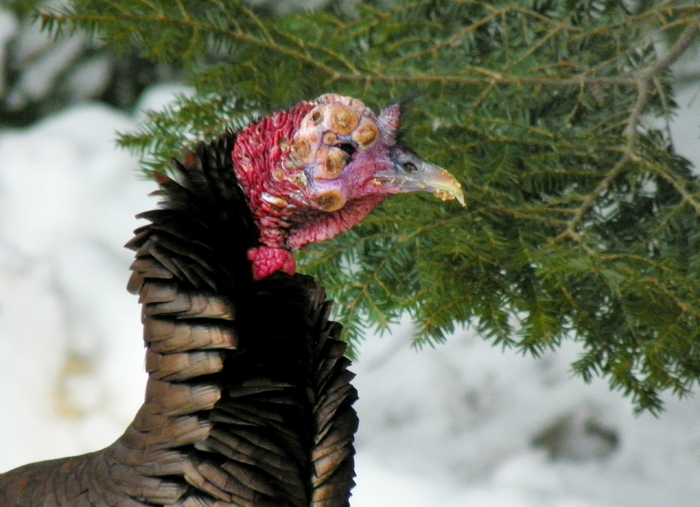 The disease is not necessarily fatal to turkeys, but if the lesions are severe, they can cause blindness in the animal and affect a bird's ability to swallow.