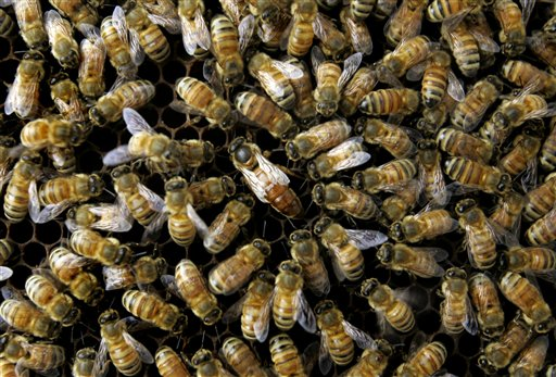 A colony of honeybees at the Agriculture Department's Bee Research Laboratory in Beltsville, Md.