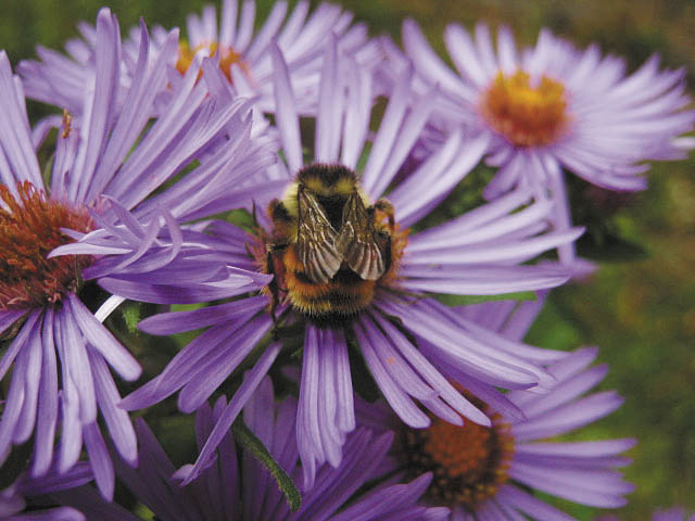 A busy old bee in autumn asters.