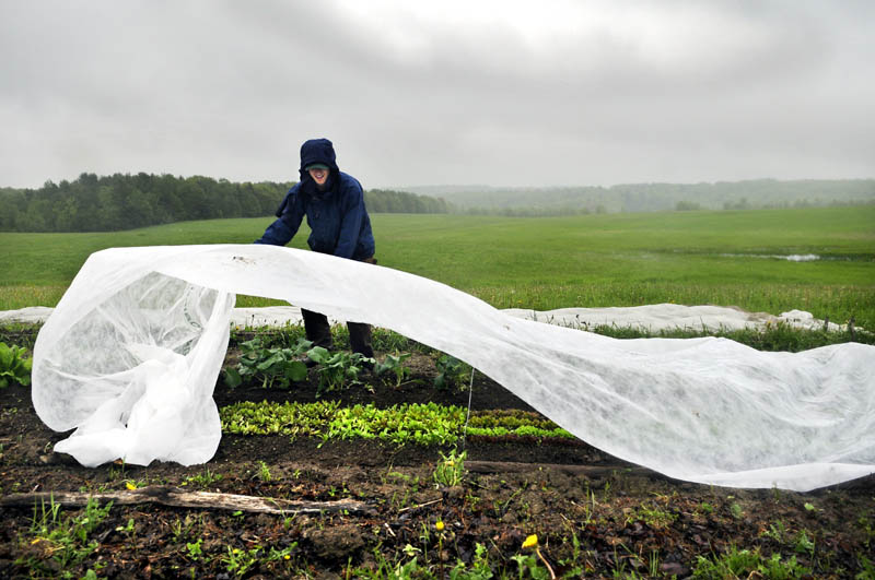 Mike Perisho rolls out the insect barrier to cover produce in the plot he cultivates with his girlfriend Wednesday in West Gardiner. Perisho rolled up the spring frost tarp that protected the vegetables while in the rain that is expected to conclude Thursday with warmer temperatures called for by Friday.