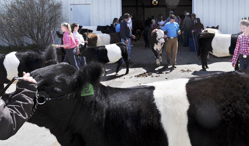 Exhibitors wait to show Belted Galloway cattle Sunday during the youth beef show at the Northeast Livestock Expo, held at the Windsor Fairgrounds. Several hundred children and teenagers attended the weekend event to learn about the welfare of livestock, attend classes and show critters.