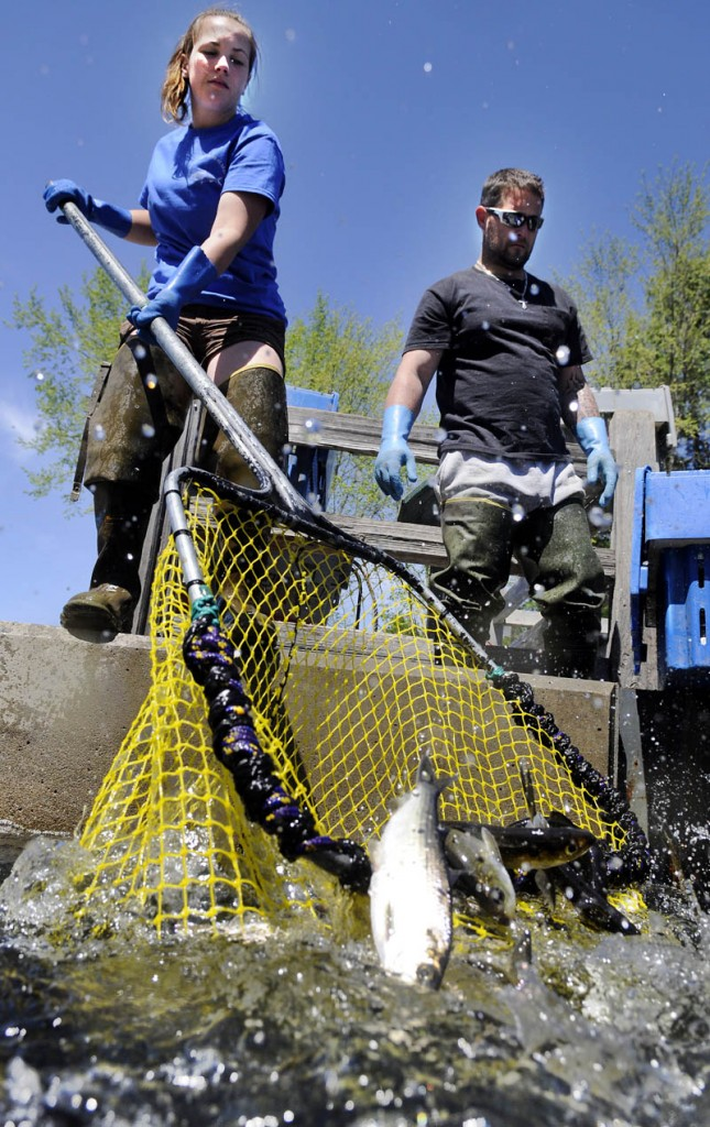 Nicole Brann dips alewives May 15 at the headwaters of Seven Mile Stream at Webber Pond in Vassalboro, as Corey Cookson watches. The duo were harvesting the migrating fish for Ron Weeks, who holds the contract from the town of Vassalboro to sell alewife to lobster fisherman. Three dips filled a crate that weighed about 250 pounds, Cookson said, and held about 500 alewives.