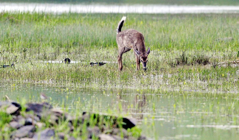A Whitetail deer grazes on the banks of the Kennebec River Wednesday in Hallowell.