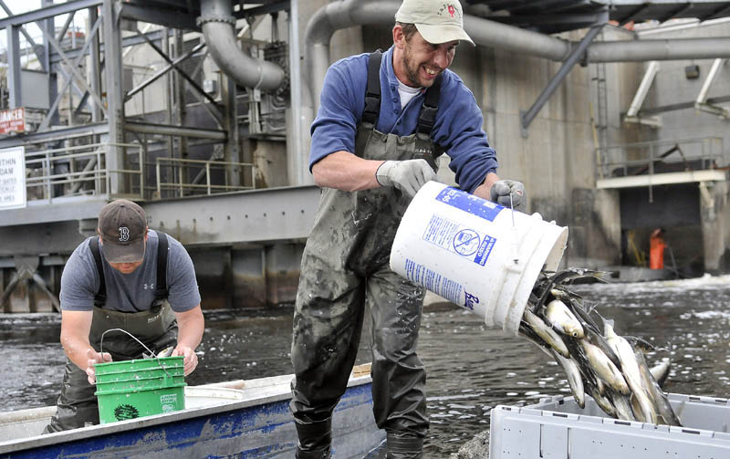 Ron Weeks, left, and Tommy Keister, right, fill crates with bucketloads of alewives at the Benton Falls hydroelectric dam on the Sebasticook River on May 9. Each crate weighed about 250 pounds and was sold as bait for $60 each.