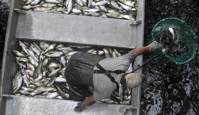 Tommy Keister, a fisherman from Friendship, stands in a skiff filled with live alewives while netting the baitfish at the Benton Falls hydroelectric dam on the Sebasticook River on May 9.
