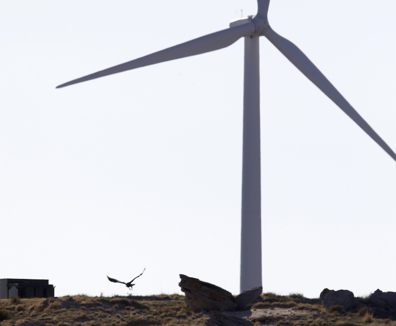 A golden eagle flies near a wind turbine on a wind farm owned by PacifiCorp near Glenrock, Wyo., Monday, May 6, 2013. At least 20 golden eagles have been found dead at the companies wind farms in Wyoming, according to data obtained by The Associated Press. It's the not-so-green secret of the nation's wind-energy boom: Spinning turbines are killing thousands of federally protected birds, including eagles, each year. (AP Photo/Matt Young)