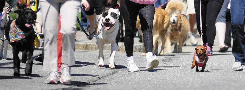 """Dogs and their walkers head east at the start of the the 20th annual Mutt Strut on Saturday, along Capitol Street in Augusta. The event was sponsored by the Kennebec Valley Humane Society """"to raise money for local animals in need of shelter, food, medical care, and the second chance for a loving home"""" according to a release. Walkers started at the Buker Community Center, headed down Capitol, looped around the State House and then headed back after a water break."""