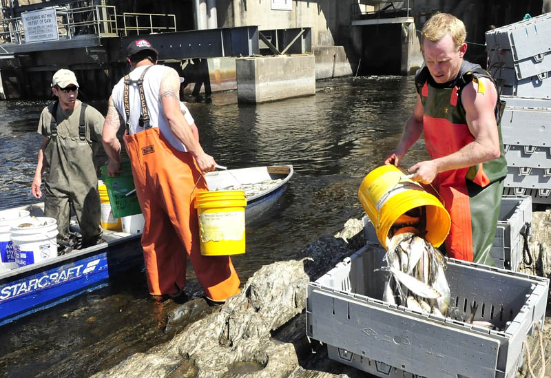 David Lash, right, fills crates with alewife fish after they were caught just below the Benton Falls Hydro dam during the recent annual harvest.
