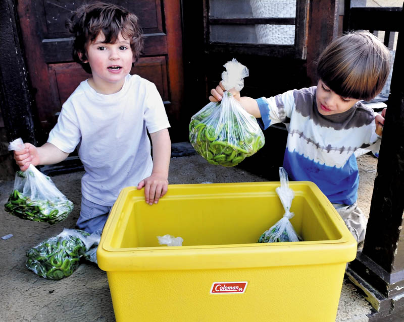 Cody Sack, left, and his twin brother, Chase, fill a cooler with fresh-picked fiddleheads their grandfather, Peter Sack, picked recently, at their home in Waterville on Thursday. The warm weather is putting an end to the fiddlehead season, as the curly stalks unfold their leaves.