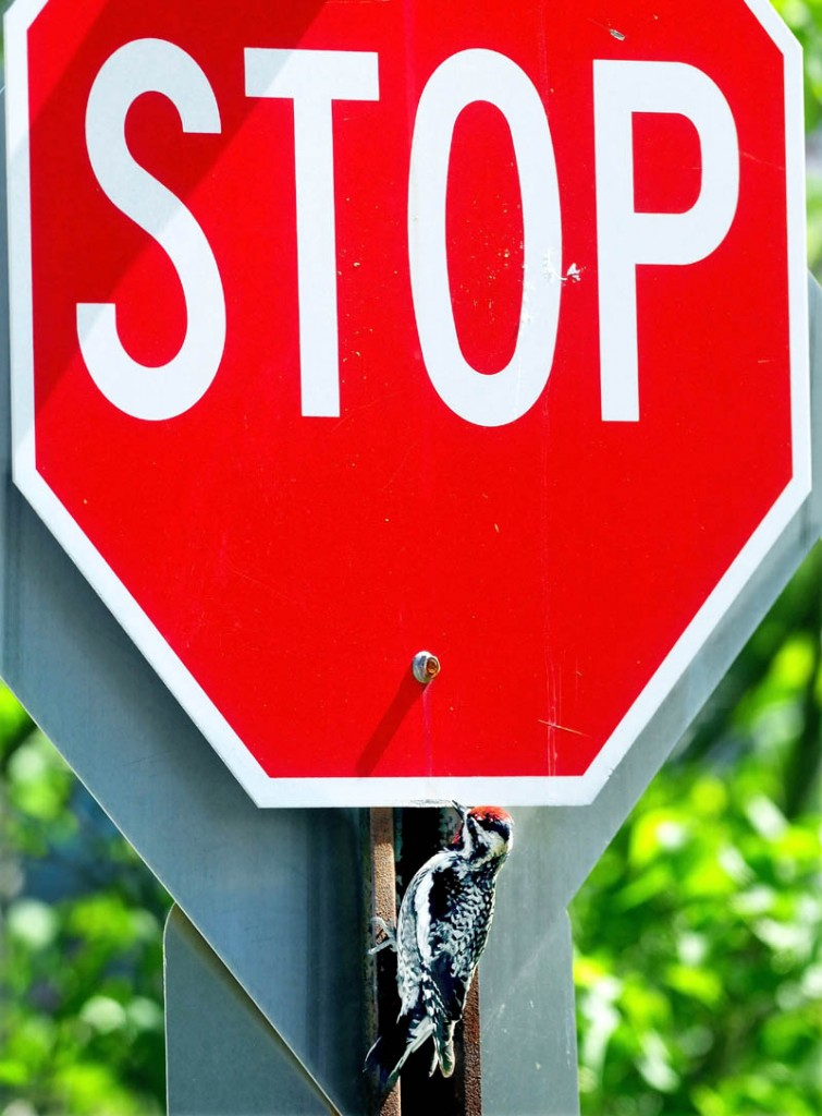 """A downy woodpecker pecks a stop sign on Cottage Street in Fairfield this week. According to nearby homeowner Trevison Hardy, the bird began his daily routine of beating the sign a month ago. The metal tapping noise can be heard a long way off. """"He does it every day and all day,"""" Hardy said. """"I think it's funny."""" Hardy added the bird may be trying to attract a mate."""