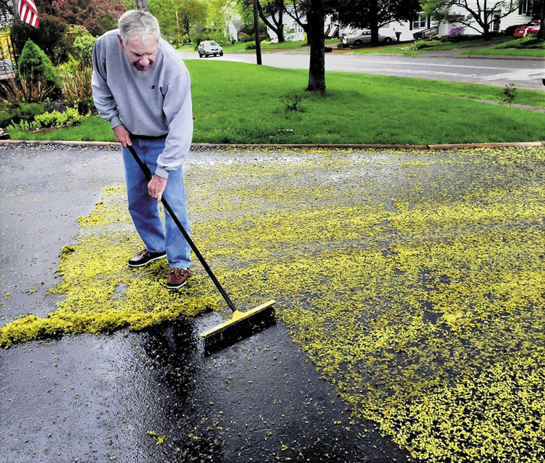 Paul LaVerdiere uses a broom to clean up bright-green maple tree bud scales that covered his driveway in Waterville on Sunday. Soon the leaves will unfold and get bigger in time to offer shade from hot summer sun.