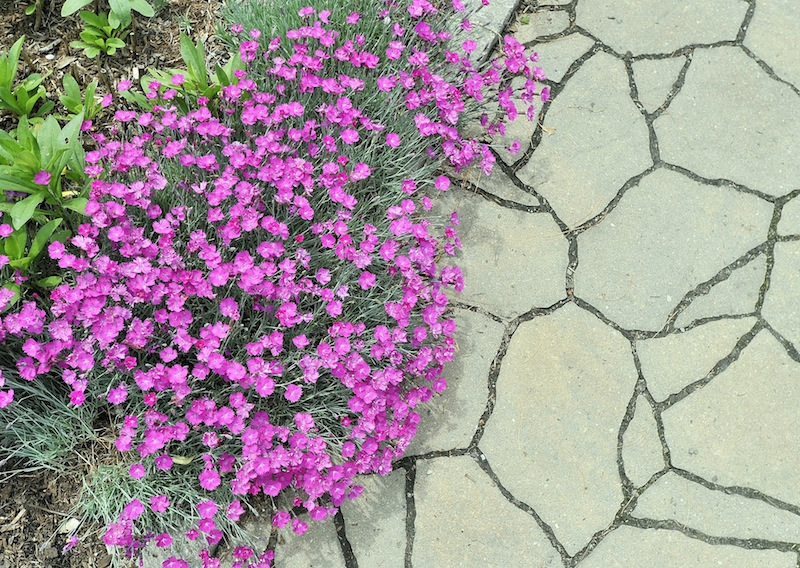 Firewitch Cheddar Pinks contrast with the stone walkway at the Coastal Maine Botanical Gardens in Boothbay on Friday, June 14, 2013.