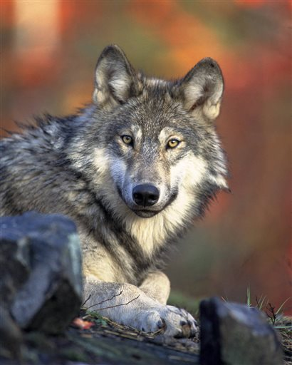 This April 18, 2008 photo released by the U.S. Fish and Wildlife Service shows a gray wolf. The Obama administration on Friday proposed lifting most of the remaining federal protections for gray wolves across the mainland states, a move that would end four decades of recovery efforts but has been criticized by some scientists as premature. A rule being proposed by the U.S. Fish and Wildlife Service to remove most species of wolves from the endangered species list would end federal protection for any wolves that move into upstate New York or northern New England from Canada or elsewhere.