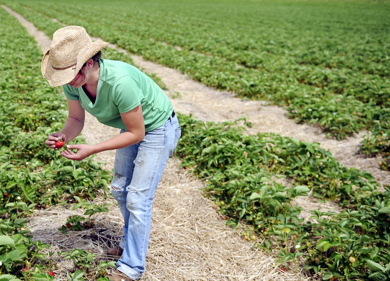Alice Berry inspects a strawberry Sunday in a row she cultivated at the Stevenson's Strawberry Farm in Wayne. Farmer Ford Stevenson said he is expecting a healthy crop this season.